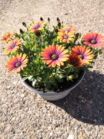 Osteospermum Novelty Colours in 25cm Plastic Striation Summer Patio Bowl