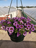 *Multi-Buy Deal* 2 X 27cm Summer Hanging Pot Million Bells / Calibrachoa Novelties (CLICK PHOTO TO SEE MORE COLOURS)