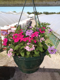 *Multi-Buy Deal* 2 X 27cm Summer Hanging Pot Verbena MIXED