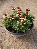*Multi-Buy Deal* 2 X 30cm Summer Patio Striation Bowl Plastic with Nemesia (CLICK PHOTO TO SEE MORE COLOURS)