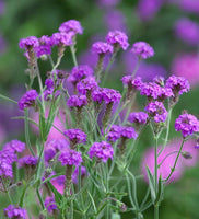*Multi-Buy Deal* 2 x 1L Verbena Starter Plants (spring, summer, perennial)
