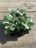9cm pot Cineraria Silverdust (Tray of 6 plants) (Autumn, Spring)