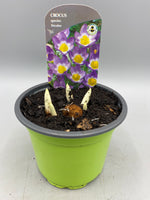 9cm Potted Crocus, tray of 6 (Autumn, Spring, Bulbs) (Click to see more colours)