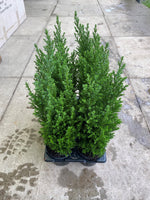 9cm Conifer (Tray of 6 plants) Autumn, Spring, Summer, Perennial, Foliage (click photo to see more colours)