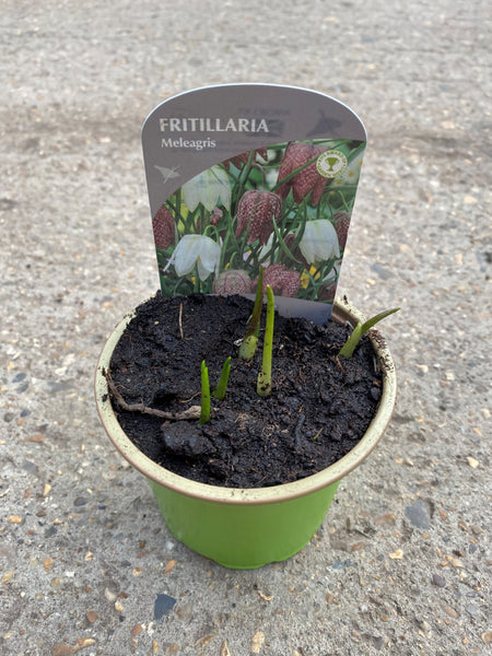 9cm Potted Fritillaria/Snakes Head, tray of 6 (Autumn, Spring, Bulbs)