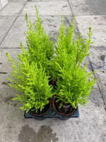 9cm Goldcrest (Tray of 18 plants) Autumn, Spring, Summer, Perennial, Foliage