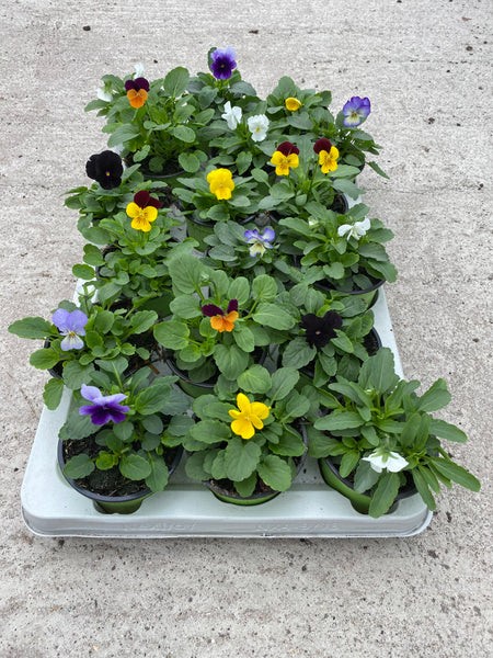 9cm Viola Mixed (Spring, Summer, Autumn) (tray of 18 plants)