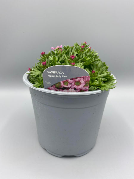 *Multibuy Deal* 1L Saxifraga 3 for £10 (Spring, Summer, Autumn)