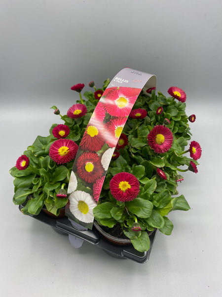 Bellis 6 Plant Carry Pack with Handle (Autumn, Spring)