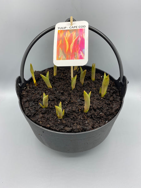 *Multibuy Deal * 2x Tulip Cauldrons for £10 (Spring, bulbs)