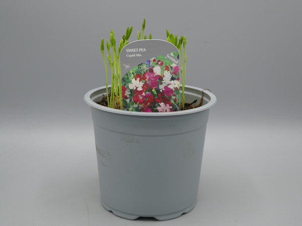 *Multi-Buy Deal* 3x Sweet Pea (Spring, Summer)