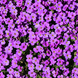 *Multi-Buy Deal* 3x Aubrieta (Spring, Summer, Perennial)