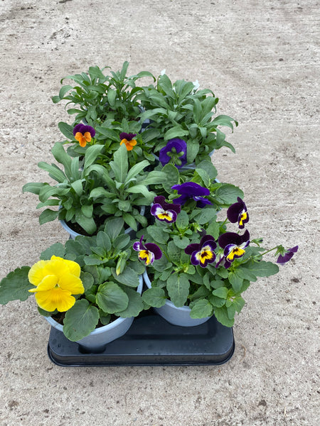 Mixed Seasonal Bedding, Spring, Summer, Autumn (tray of 8 fully grown plants)