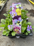 Viola 6 Plant Carry Pack with Handle (Autumn, Spring)