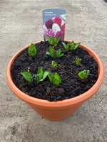 *Multi-buy Deal* 2 x Large Plastic patio pots full of Hyacinths (Autumn, Spring)