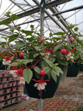 30cm Large and Deep Fuchsia Hanging Pot, summer