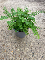3 x 10.5cm Fern, Maidenhair fern, Indoor, foliage