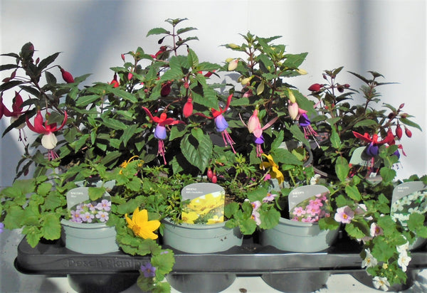 Mixed Summer Bedding (tray of 8 fully grown plants)