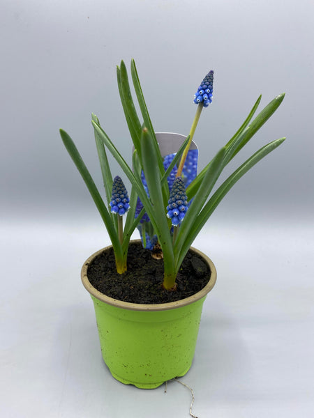 9cm Potted Muscari, tray of 6 (Autumn, Spring, Bulbs) (Click to see more colours)