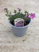 *Multi-Buy Deal* 3  X 1L Phlox Subulata (Perennial, Autumn, Spring)