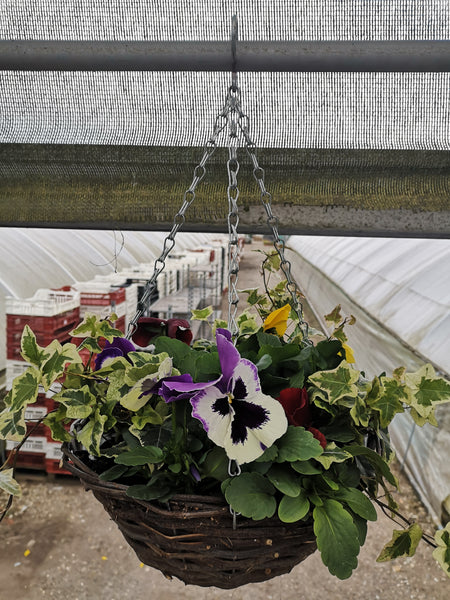 Rattan Hanging Basket with Pansy and Ivy (Summer, Autumn, Spring)