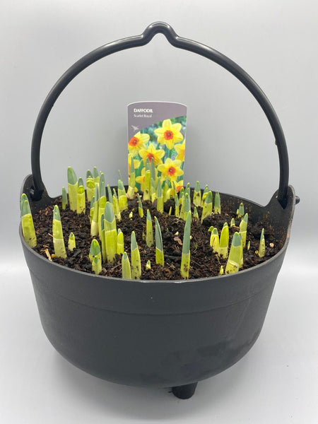 *Multibuy Deal * 2 x Daffodil Cauldrons for £10 (Spring, bulbs)