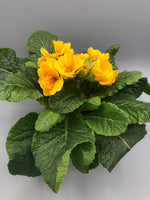 Polyanthus, 6 x fully grown plants in 9cm pots (Autumn, Spring)