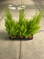 *Multi-Buy Deal* 3 x 1L Large Goldcrest Conifer (Perennial, Foliage, Spring, Summer, Autumn)