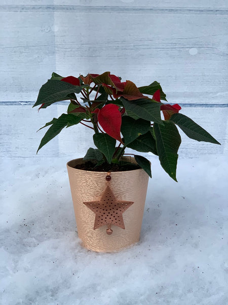 Gold Star Poinsettia Planter (click photo to see other colours)