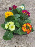 Polyanthus, 6 x fully grown plants in 9cm pots (these are now not in colour, buds coming) (Autumn, Spring)