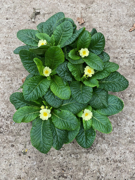 Primrose Everlast, 6 x fully grown plants in 9cm pots (Autumn, Spring, perennial)