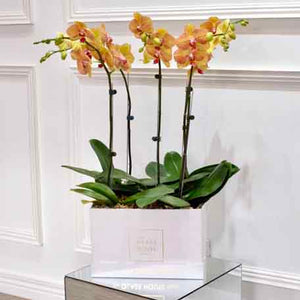 Five Phalaenopsis Box