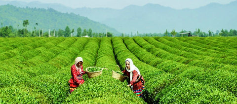 Lahijan Tea cultivation for Yalda Tea