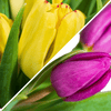 40 Premium Tulpen - Mix & Match