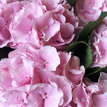 Load image into Gallery viewer, Hydrangeas in a Variety of colours