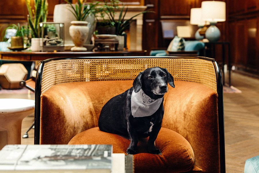 The Adolphus Hotel, Dallas - black lab seated on an orange armchair in an opulent antique hotel lobby