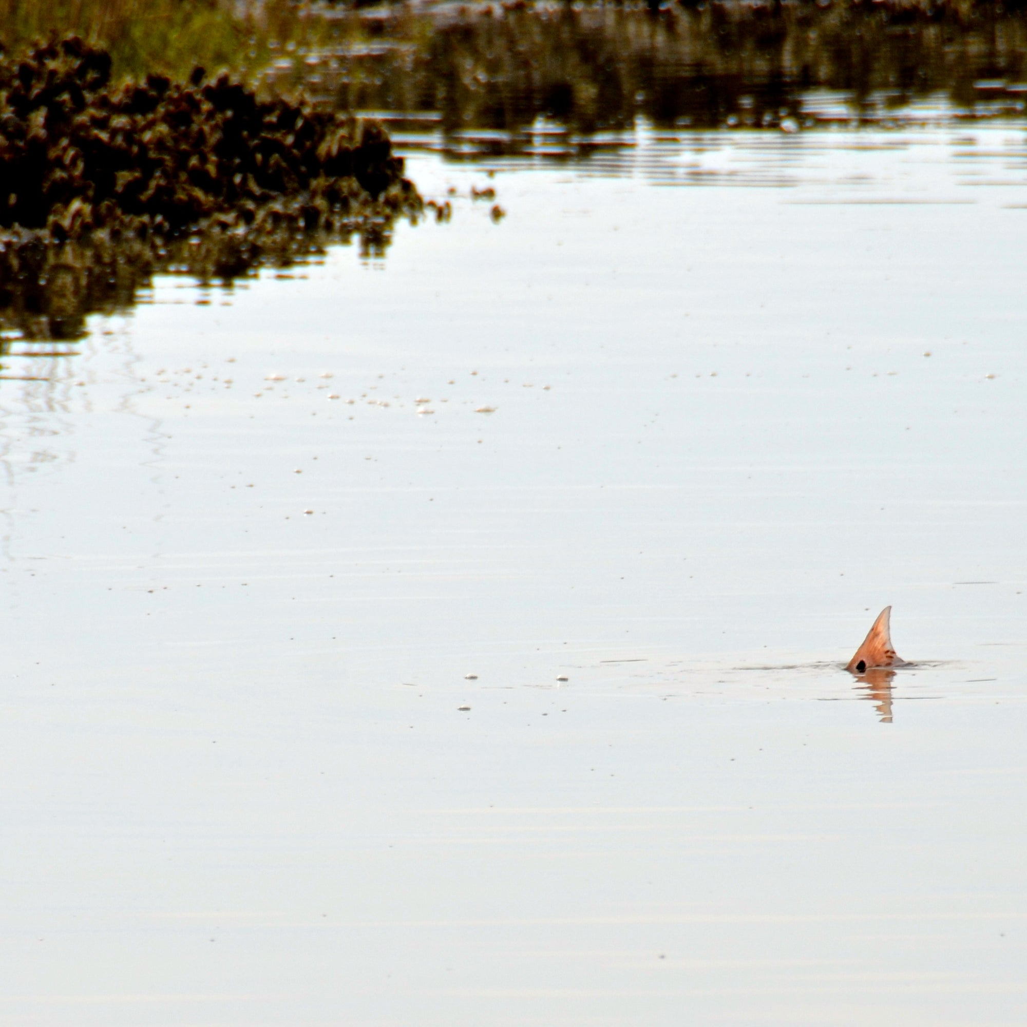 One of my favorite 📸 Shots of a Low Tide Tailing Redfish