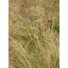 Load image into Gallery viewer, Ornamental Grass Sporobolus heterolepis