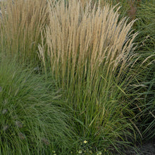 Load image into Gallery viewer, Ornamental Grass Calamagrostis Karl Foerster