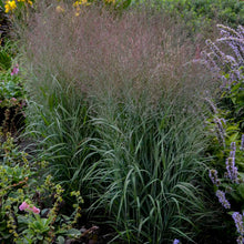 Load image into Gallery viewer, Ornamental Grass Panicum Apache Rose