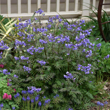 Load image into Gallery viewer, Polemonium Heaven Scent