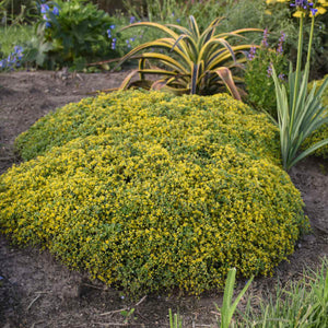 Sedum Yellow Brick Road