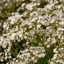 Load image into Gallery viewer, Gypsophilia Festival Star