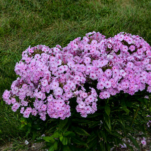 Phlox Garden Girls Uptown Girl
