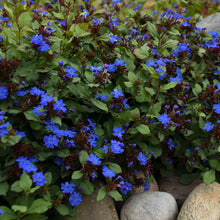 "Load image into Gallery viewer, 4.5"" Cerostigma - Blue Leadwort"