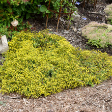 Load image into Gallery viewer, Sedum Yellow Brick Road