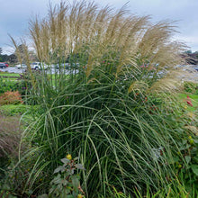 Load image into Gallery viewer, Ornamental Grass Miscanthus Encore