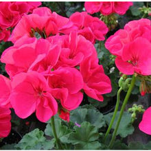 "Load image into Gallery viewer, Zonal Geranium in 6.5"" pot"