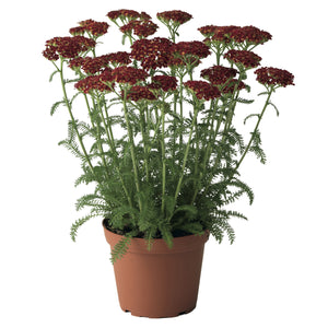 Achillea Dessert Eve Red