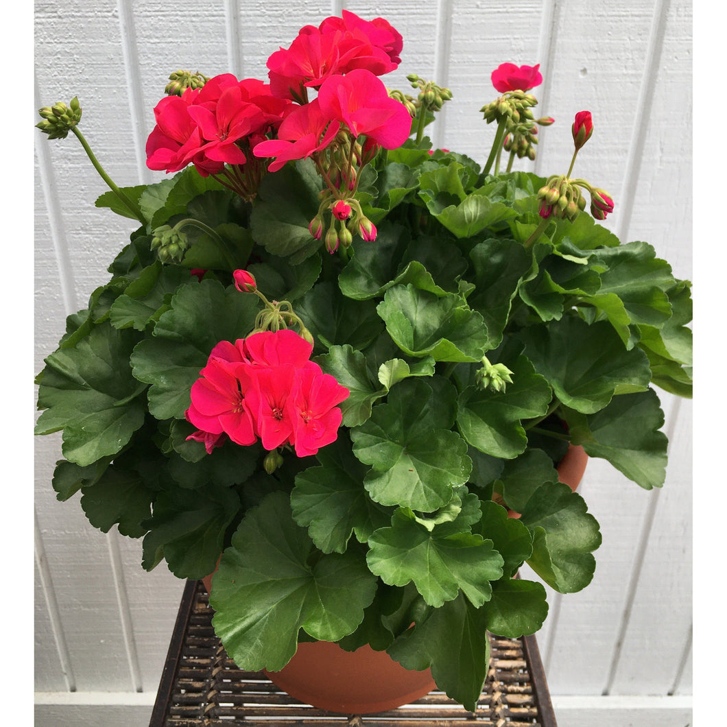 "Geranium in 12"" Deco Pot Americana Cherry Rose"